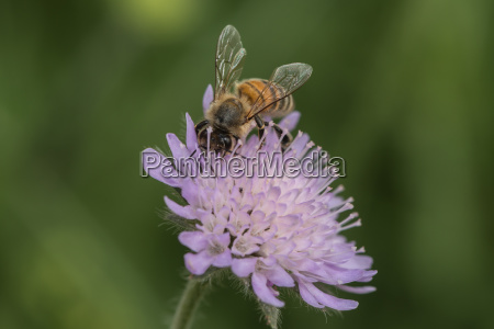 bee collects nectar on a scabiosis