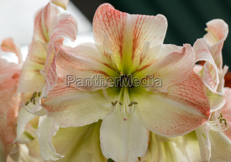red amaryllis flower blooming in