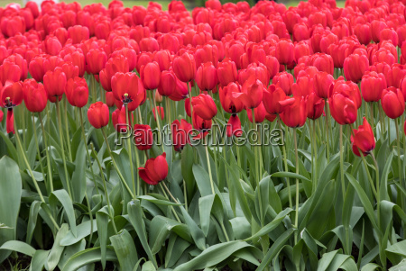 red tulips flowers blooming in a