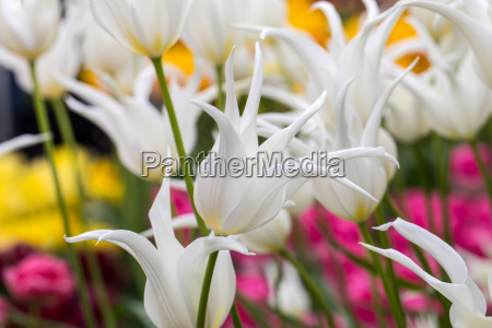 white botanical tulips flowers blooming in