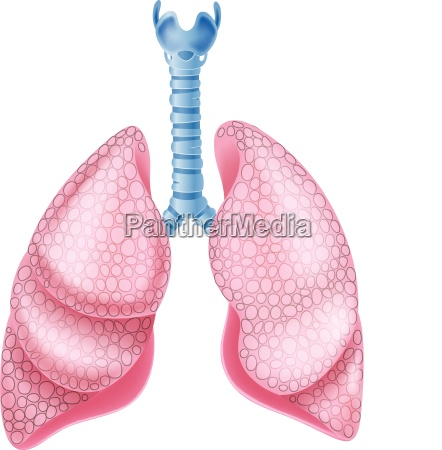 illustration of healthy lungs anatomy