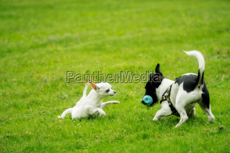 a jack russel and a chihuahua