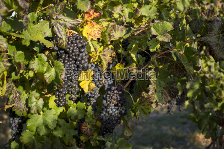 high angle view of grapes growing