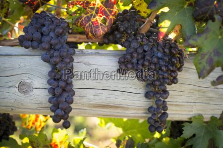 grape growing on tree in vineyard