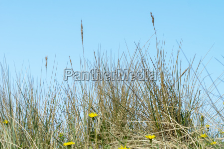 dune grasses in denmark allergy