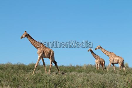 giraffes against a blue sky