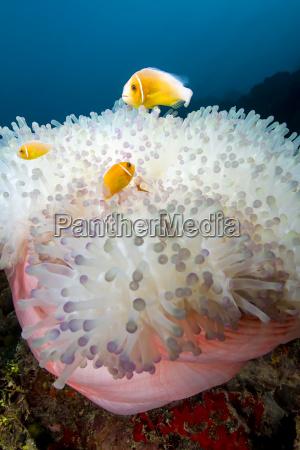 high angle view of pink anemonefish