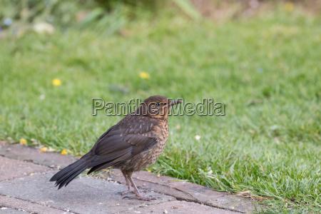 european blackbird fledgling in garden