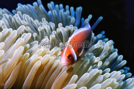fish swimming by sea anemone