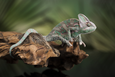 chameleon lizard sits at the root