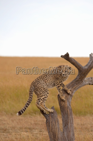 cheetah climbing a tree in the
