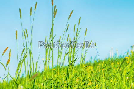 grasses on a dyke on the