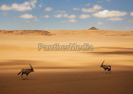 two oryx standing in the african