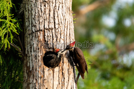 adult pileated woodpecker hylatomus pileatus feeds