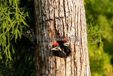 baby pileated woodpecker chick hylatomus pileatus