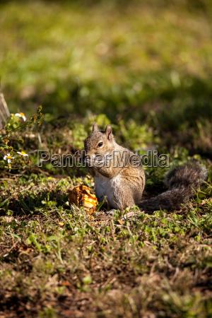 brown little shermans fox squirrel sciurus