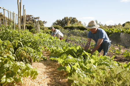 mature couple harvesting beetroot on community
