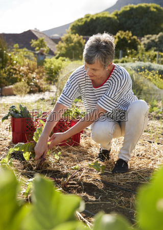 mature woman harvesting beetroot on community