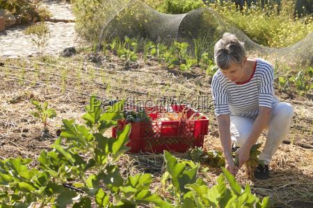 mature woman harvesting beetroot on community