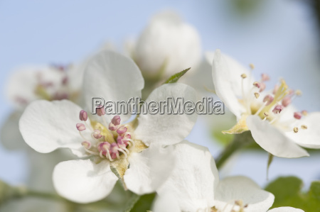 white apple blossoms close up
