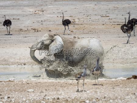 africa namibia etosha national park elefant