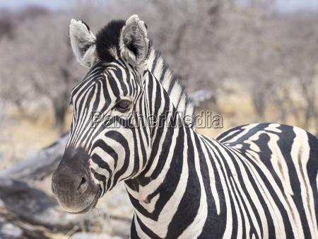 africa namibia etosha national park portrait