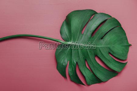 monstera leaf on pink background monstera