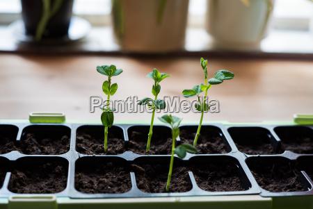 young organic homegrown green snow peas