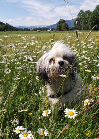 tibet terrier rassehund in the meadow