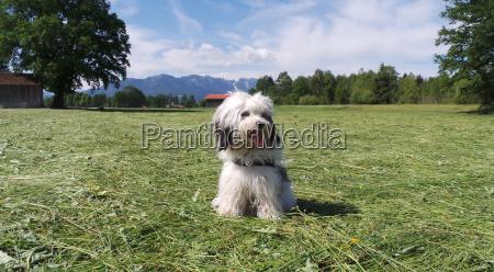 tibetan terrier purebred dog in the