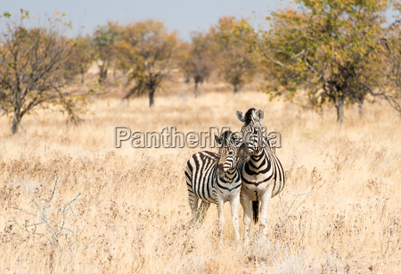 two zebras mother with young standing