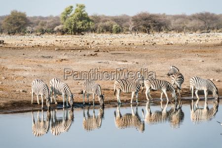 zebra herd is reflected in drinking
