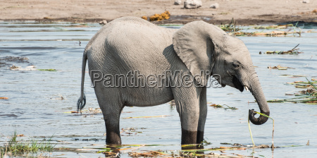 little elephant stands in the water