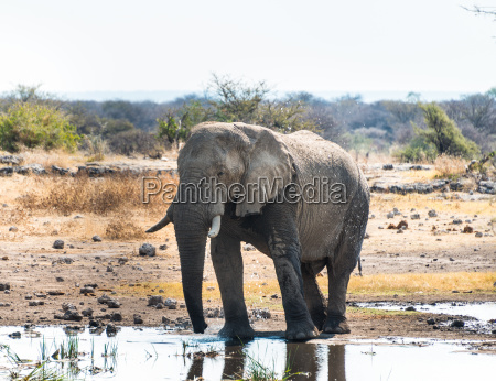 african elephant loxodonta africana stands to