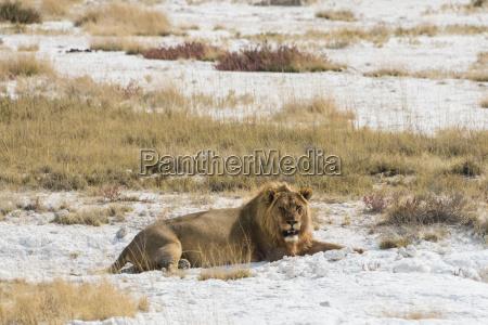 mannlicher lion is fully eaten on