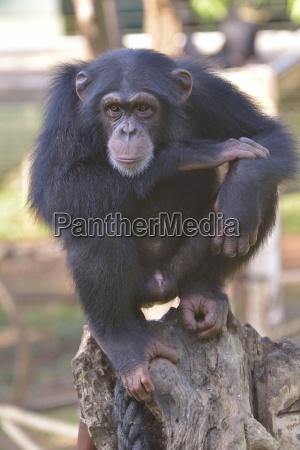 chimpanzee pan troglodytes verus tacugama chimpanzee