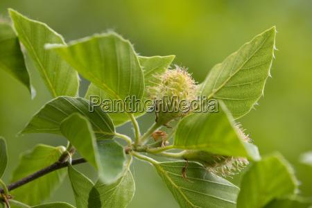 european beech fagus sylvatica inflorescence and