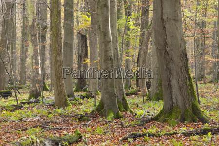 european beech forest fagus sylvatica