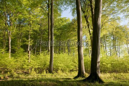 european beech forest fagus sylvatica in