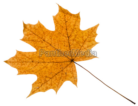 yellow autumn leaf of maple tree