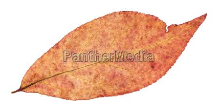 back side of autumn red leaf