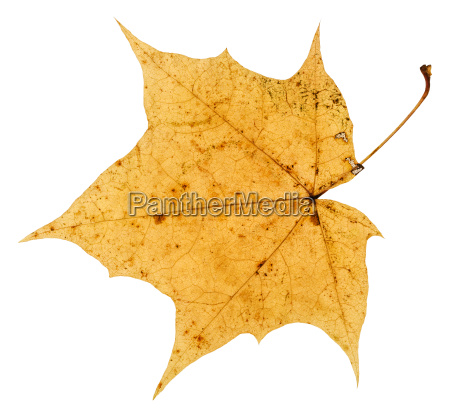 old yellow autumn leaf of maple
