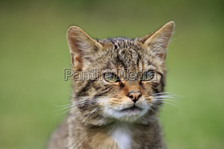 wildcat europaeisches17487