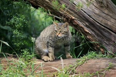 wildcat europaeisches17448
