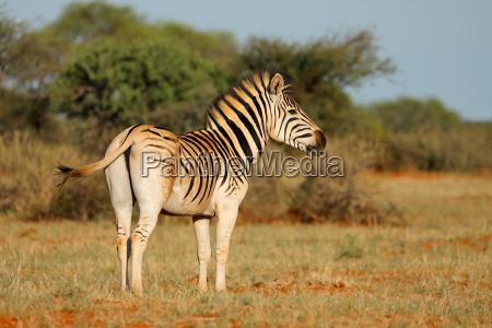 plains zebra in natural habitat