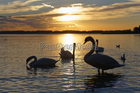 mute swans evening mood on chiemsee