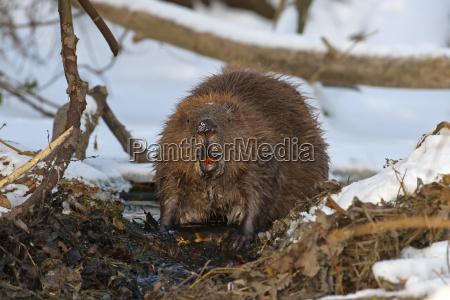 european beaver castor fiber foraging winter