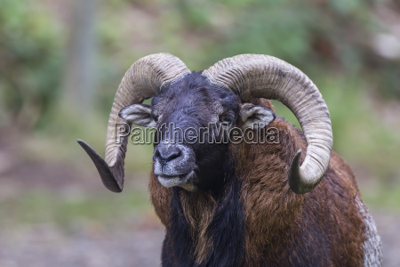 european moufflon ovis orientalis musimon