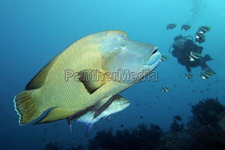 divers observed napoleon wrasse cheilinus undulatus