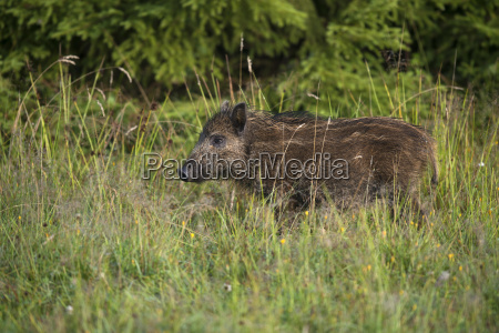 animal mammal fauna animals sights europe
